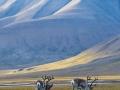 8_Svalbardrein_i_landskap