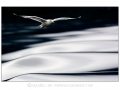 Gråmåka er en av våre mer vanlig måker. Den hekker langs hele kysten vår, men også fåtallig i innlandet.