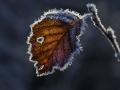 Høstlige og rimet løvtreblad, med gråtende øye, av bjørk (Betula pubescens) takker får året. Orkdal, Sør-Trøndelag