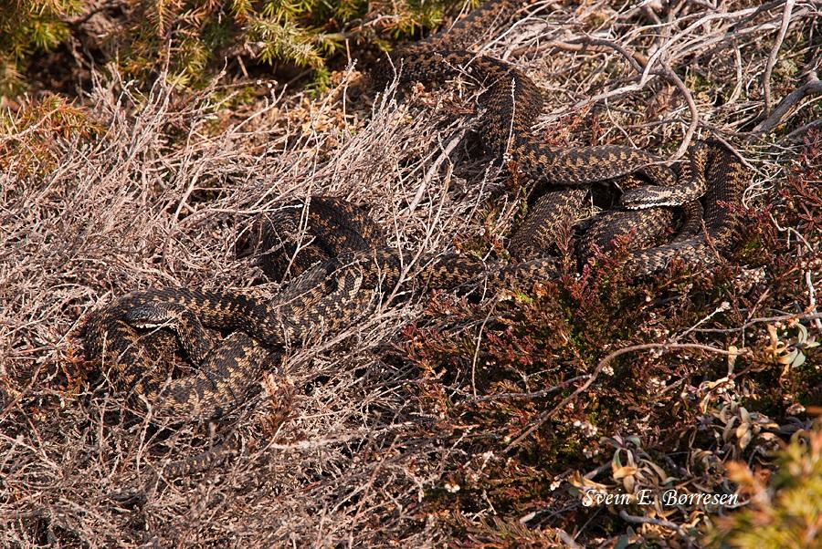 Hoggormen ligger gjerne flere sammen om våren. På den måten hjelper de hverandre med varme.