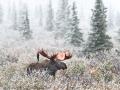 Bull moose in Alaska