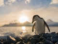 Jonathan-Björklund-Cinstrap-penguin-soloppgang