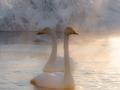 Sangsvaner (Cygnus cygnus) lever under ekstrem kulde og er avhengig av åpent vann i sprengkulde for å overvintre. Ekebergdalen Enebakk, Akershus